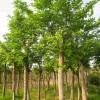 5公分榉树5公分榉树