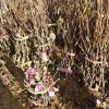1米以上紫玉兰小苗价格行情