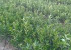 玉林家批发杂柑新品种大雅柑3号苗的基地好