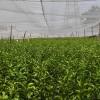 玉林有改良茂谷柑苗批发