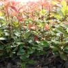 绿化用红叶石楠小苗价格