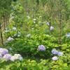 30厘米高度八仙花小苗价格