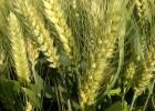 矮秆大穗小麦种子正规品种德抗961