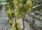 温室葡萄苗