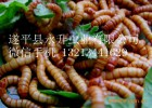 中国黄粉虫养殖网寻求全国黄粉虫养殖户及代理商