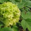 牡丹花的养殖方法