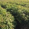 江西木荷小苗供应、一年木荷小苗价格、湖北木荷小苗批发