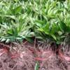 梧州有香橙砧木的沃柑苗批发