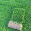 常州草坪|常州草坪基地|常州草坪批发