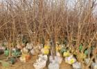 枣树苗原产地苗圃直销成活率高