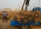 全国最大金丝枣苗种植培育基地