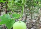 优质冬瓜种子 香芋冬瓜种子