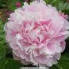 牡丹苗价位观赏牡丹品种花色