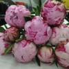 芍药鲜切花、切花芍药批发、母亲节鲜花芍药
