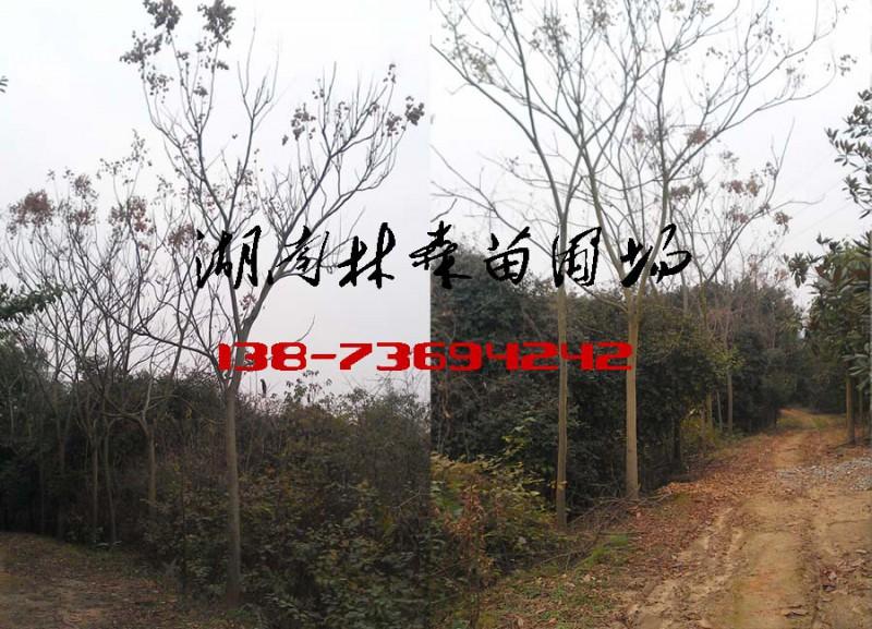 8公分栾树价格,9公分10公分11公分12公分栾树价格
