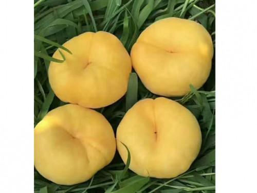 早熟黄金蟠桃,阳历7月份大量成熟