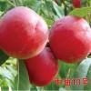 供应中油13号油桃,个大脆甜,耐运输,阳历6月份成熟
