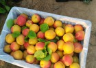杏,精品红杏,丰园红杏,金太阳杏,凯特杏价格