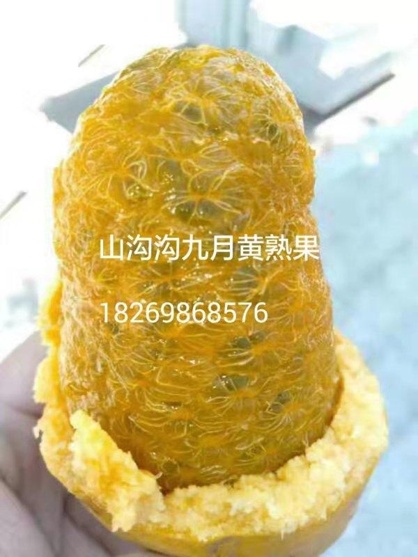 优质大果高产九月黄九月瓜种苗种子