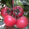 种植早春西红柿种子、越冬西红柿种子选寿光晨宏种业,差不了