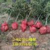 山楂树产地 结果山楂树价格 3-4公分山楂树
