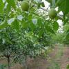 出售8公分核桃树=10公分-12公分薄皮核桃树价格