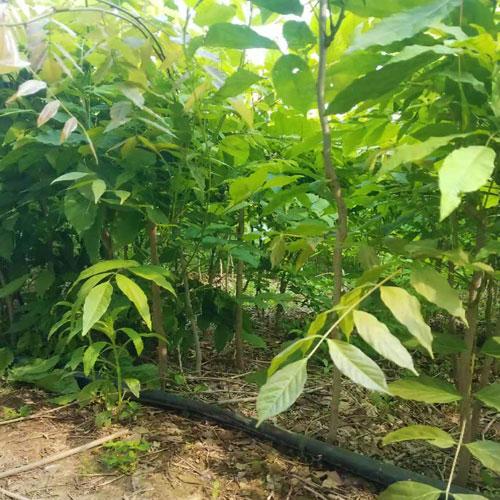 出售2米高紫藤树苗价格