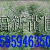 枫香袋苗 枫香容器苗 枫香杯苗