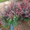 耐盐碱绿化用红叶小檗小苗价格