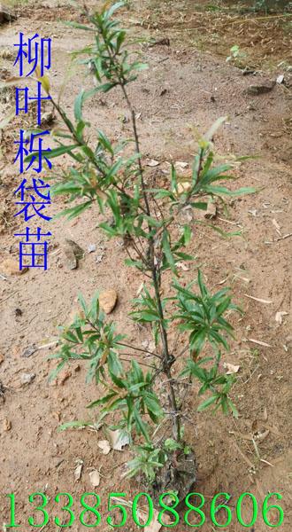 柳叶栎袋苗 柳叶栎苗 柳叶栎种子