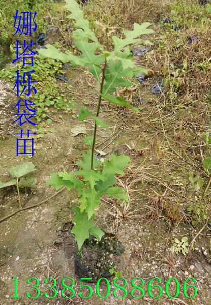 娜塔栎袋苗 娜塔栎苗 娜塔栎种子