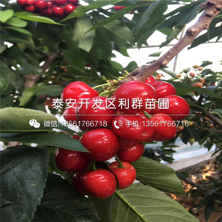 桑德拉玫瑰樱桃树苗报价、2019年桑德拉玫瑰樱桃树苗价格