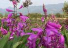 御贵草白芨有大规模的种植基地 成为研发基础