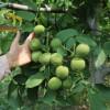 核桃苗种植基地