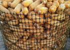河北新型黑色塑料圈玉米网厂家