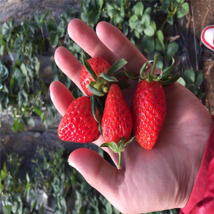 山东法兰地草莓苗、法兰地草莓苗多少钱一棵