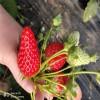 美香莎草莓苗 美香莎草莓苗价格