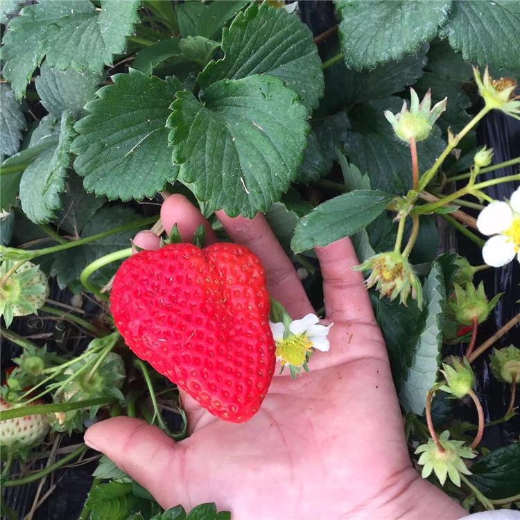 美香莎草莓苗品种介绍 美香莎草莓苗多少钱一棵