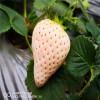 章姬草莓苗 章姬草莓苗基地