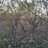 黄冠桃树苗低价处理1年嫁接黄冠桃树苗