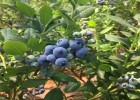 珠宝蓝莓苗多少钱一棵 珠宝蓝莓苗品种介绍