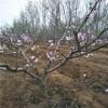 嫁接好的桃树苗多少钱一棵、桃树苗保湿邮寄