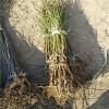什么品种桃树苗好7-7油蟠桃树苗培育基地