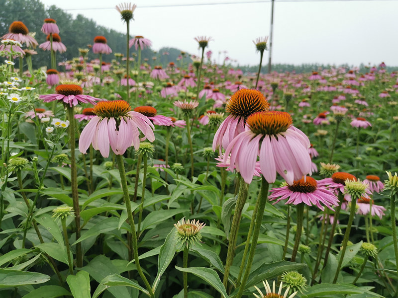 放心提取工厂:上海紫锥菊提取物的价格
