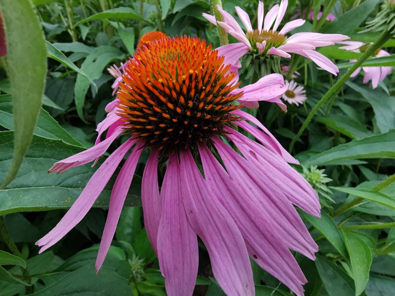 绝版资料、紫锥菊提取物市场调查研究