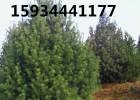 2.5米白皮松价格 3米白皮松价格 3.5米白皮松价格
