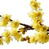 武汉果树基地直销各类型的桃樱花桃树 葡萄腊梅桂花当年开花结果