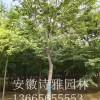 安徽肥西出售8-30公分精品朴树价格