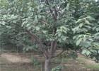 樱花 2公分3公分4公分樱花 日本早樱