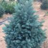 2年生美國藍杉(科羅拉多藍杉)